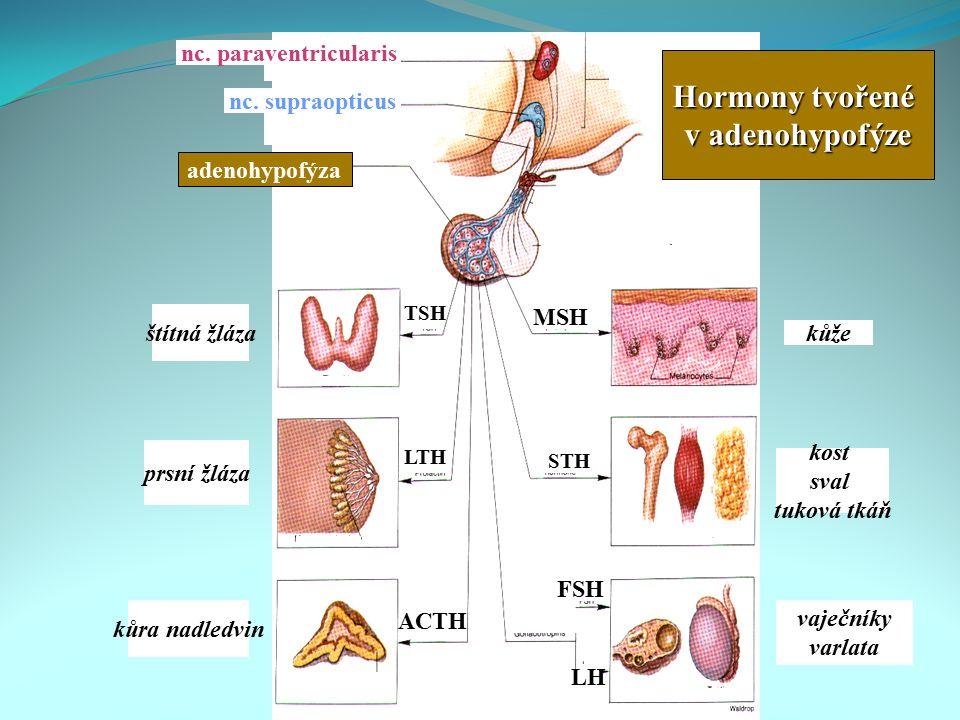 nc. paraventricularis nc. supraopticus adenohypofýza štítná žláza prsní žláza kůra nadledvin kůže kost sval tuková tkáň vaječníky varlata TSH LTH ACTH
