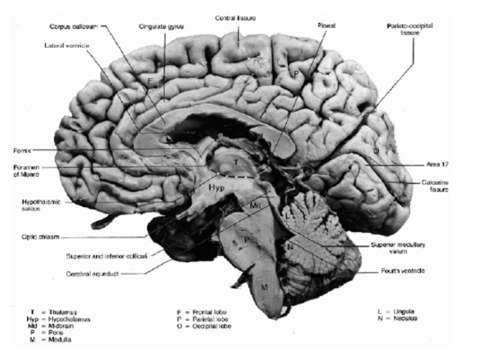 Hlavní nervové cesty mezi jednotlivými úseky mezisegmentová spojení, která působí odezvy pouze ve stimulovaných segmentech (tato spojení jsou typická především pro míchu) mezisegmentová spojení, u nichž jsou impulsy přenášeny příslušnými neurony též do sousedních segmentů, přičemž dochází ke koordinovanému působení (tato spojení jsou typická zejména pro kmen mozku) spojení řídící rovnováhu (spojení vestibulo-cerebelární) spojení komplexního řízení svalové aktivity a spojení synergetického řízení (zejména motorická koordinace) spojení sluchové, zrakové a senzitivně-proprioceptivní soustavy spojení řízení ovlivňovaného vůlí (především cortiko- spinální nervové dráhy)
