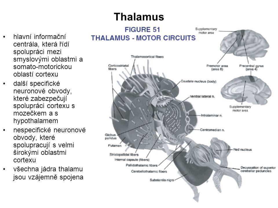 Thalamus hlavní informační centrála, která řídí spolupráci mezi smyslovými oblastmi a somato-motorickou oblastí cortexu další specifické neuronové obv