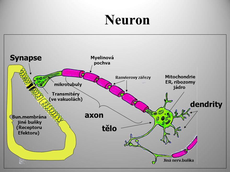 Neuron Jiná nerv.buňka Ranvierovy zářezy Transmitéry (ve vakuolách) mikrotubuly dendrity axon Myelinová pochva Mitochondrie ER, ribozomy jádro Synapse Bun.membrána jiné buňky (Receptoru Efektoru) tělo