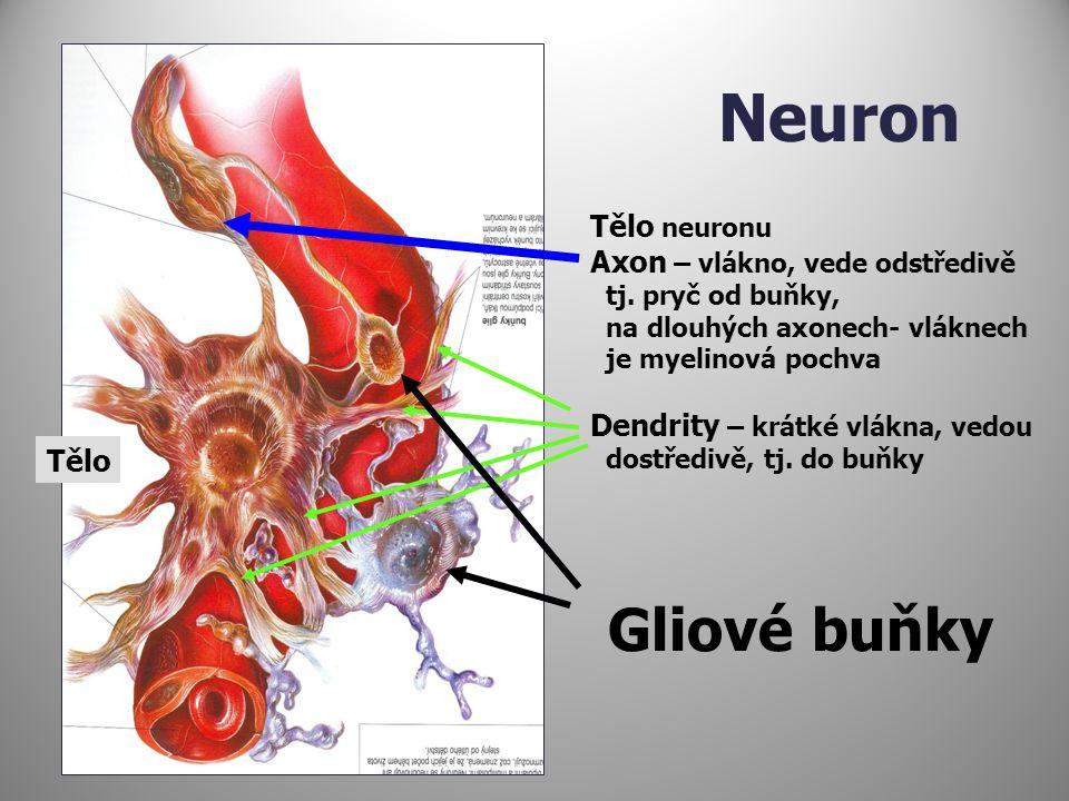 Neuron Tělo neuronu Axon – vlákno, vede odstředivě tj. pryč od buňky, na dlouhých axonech- vláknech je myelinová pochva Dendrity – krátké vlákna, vedo