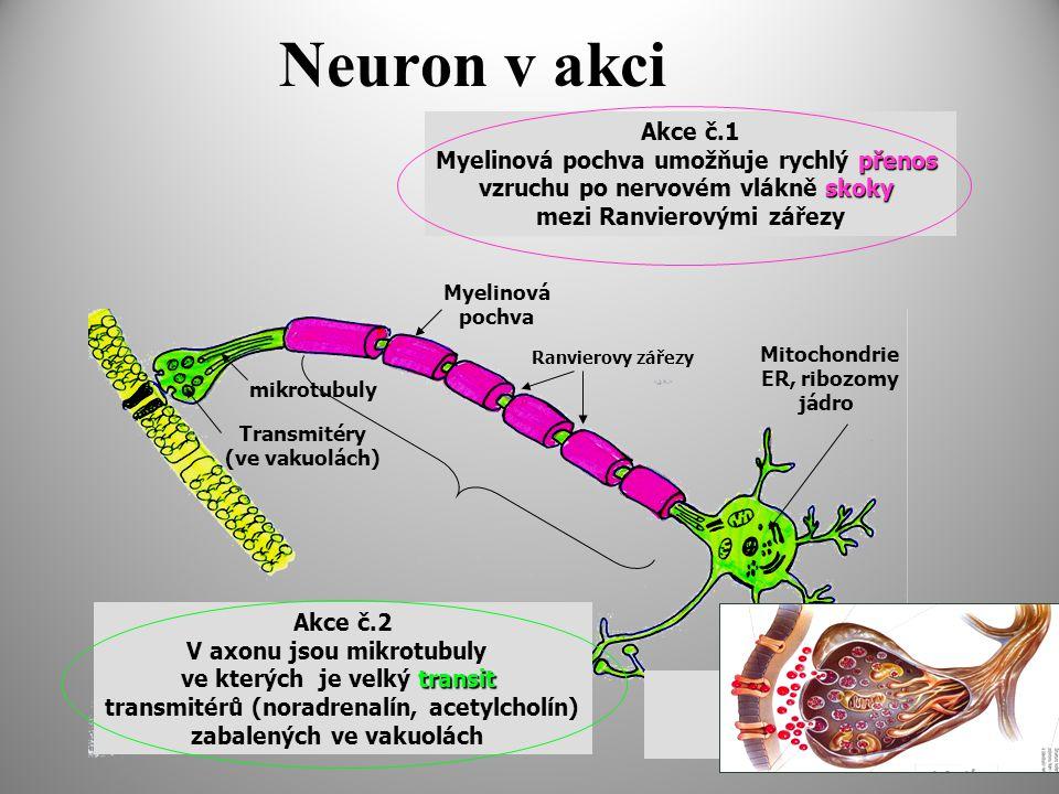 Neuron v akci Ranvierovy zářezy Transmitéry (ve vakuolách) mikrotubuly Akce č.2 V axonu jsou mikrotubuly transit ve kterých je velký transit transmitérů (noradrenalín, acetylcholín) zabalených ve vakuolách Myelinová pochva Mitochondrie ER, ribozomy jádro Akce č.1 přenos Myelinová pochva umožňuje rychlý přenos skoky vzruchu po nervovém vlákně skoky mezi Ranvierovými zářezy