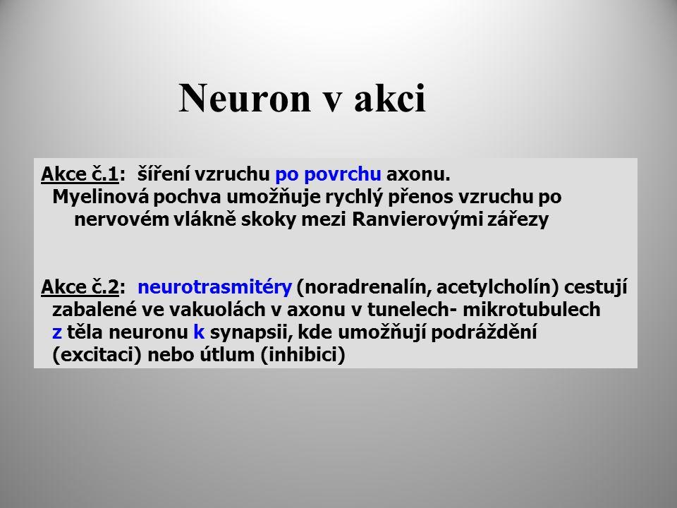 Neuron v akci Akce č.1: šíření vzruchu po povrchu axonu. Myelinová pochva umožňuje rychlý přenos vzruchu po nervovém vlákně skoky mezi Ranvierovými zá