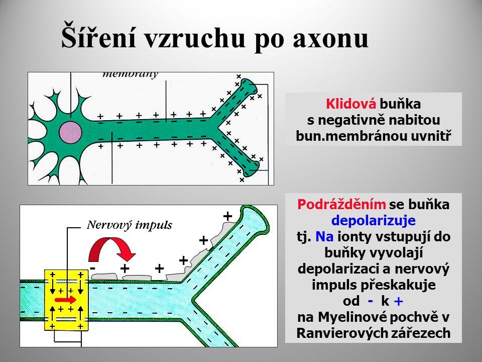Šíření vzruchu po axonu Klidová buňka s negativně nabitou bun.membránou uvnitř Podrážděním se buňka depolarizuje tj.