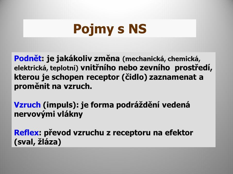 Pojmy s NS Podnět: je jakákoliv změna (mechanická, chemická, elektrická, teplotní) vnitřního nebo zevního prostředí, kterou je schopen receptor (čidlo