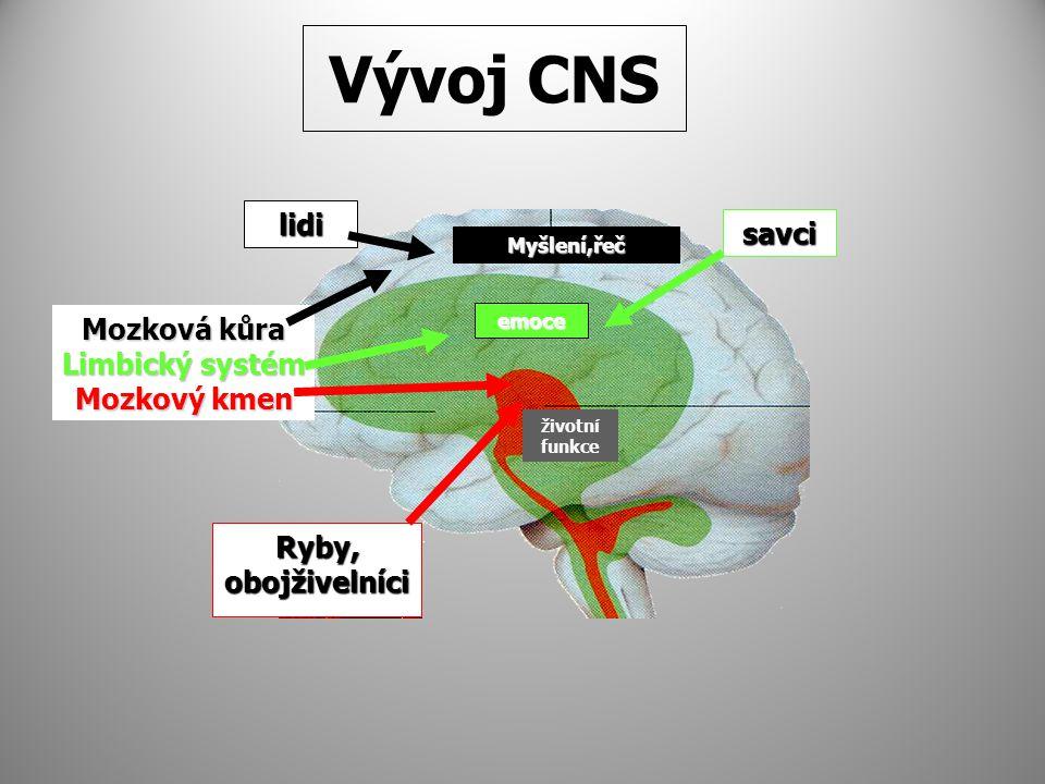 Ryby, obojživelníci Mozková kůra Limbický systém Mozkový kmen savci lidi Myšlení,řeč emoce životní funkce Vývoj CNS