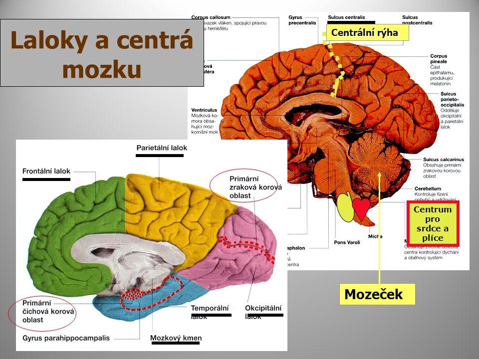 Mozeček Centrální rýha Laloky a centrá mozku Centrum pro srdce a plíce