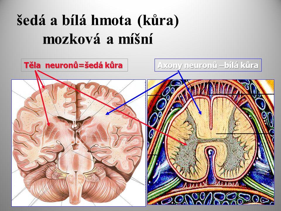šedá a bílá hmota (kůra) mozková a míšní Těla neuronů=šedá kůra Axony neuronů –bílá kůra