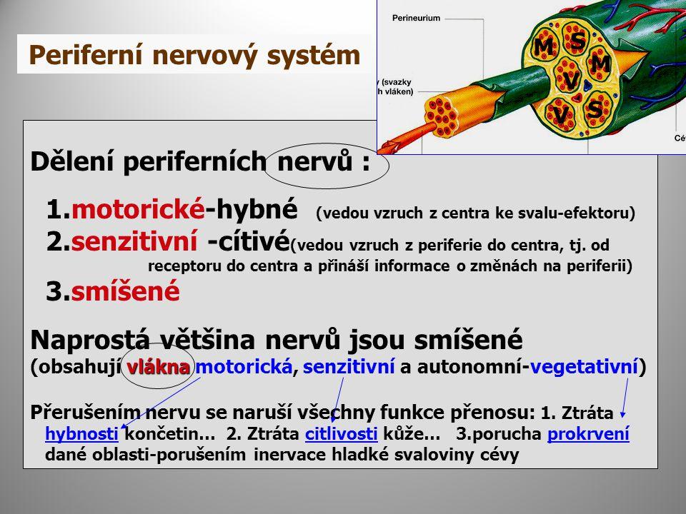 Periferní nervový systém Dělení periferních nervů : 1.motorické-hybné (vedou vzruch z centra ke svalu-efektoru) 2.senzitivní -cítivé (vedou vzruch z periferie do centra, tj.
