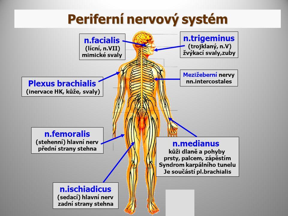 Periferní nervový systém Mezižeberní nervy nn.intercostales n.medianus kůži dlaně a pohyby prsty, palcem, zápěstím Syndrom karpálního tunelu Je součástí pl.brachialis n.ischiadicus (sedací) hlavní nerv zadní strany stehna n.femoralis (stehenní) hlavní nerv přední strany stehna Plexus brachialis (inervace HK, kůže, svaly) n.trigeminus (trojklaný, n.V) žvýkací svaly,zuby n.facialis (lícní, n.VII) mimické svaly