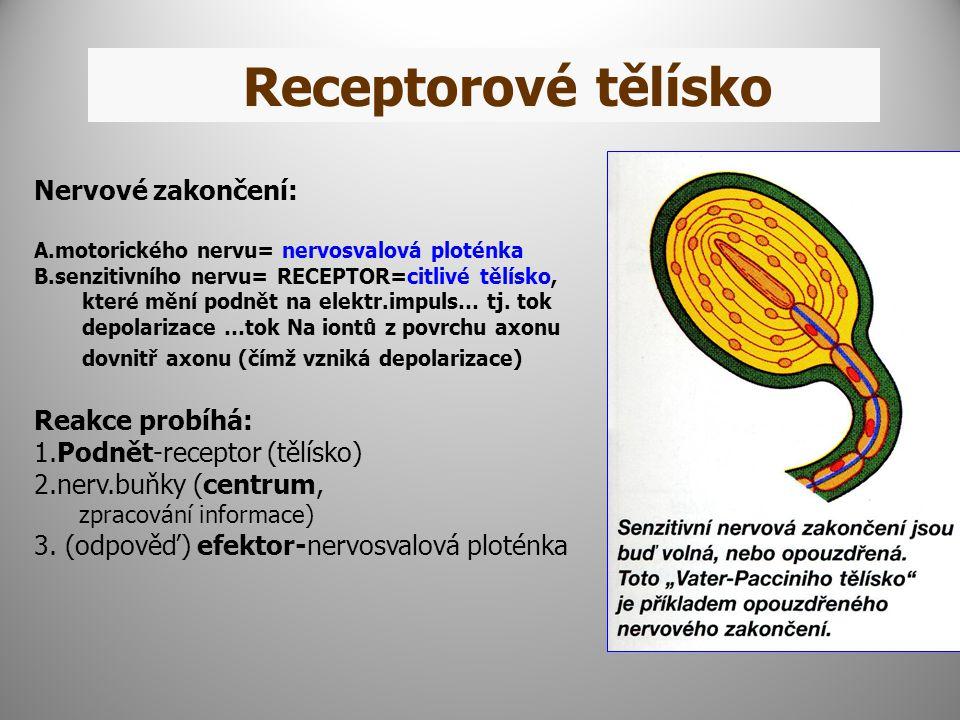 Receptorové tělísko Nervové zakončení: A.motorického nervu= nervosvalová ploténka B.senzitivního nervu= RECEPTOR=citlivé tělísko, které mění podnět na elektr.impuls… tj.