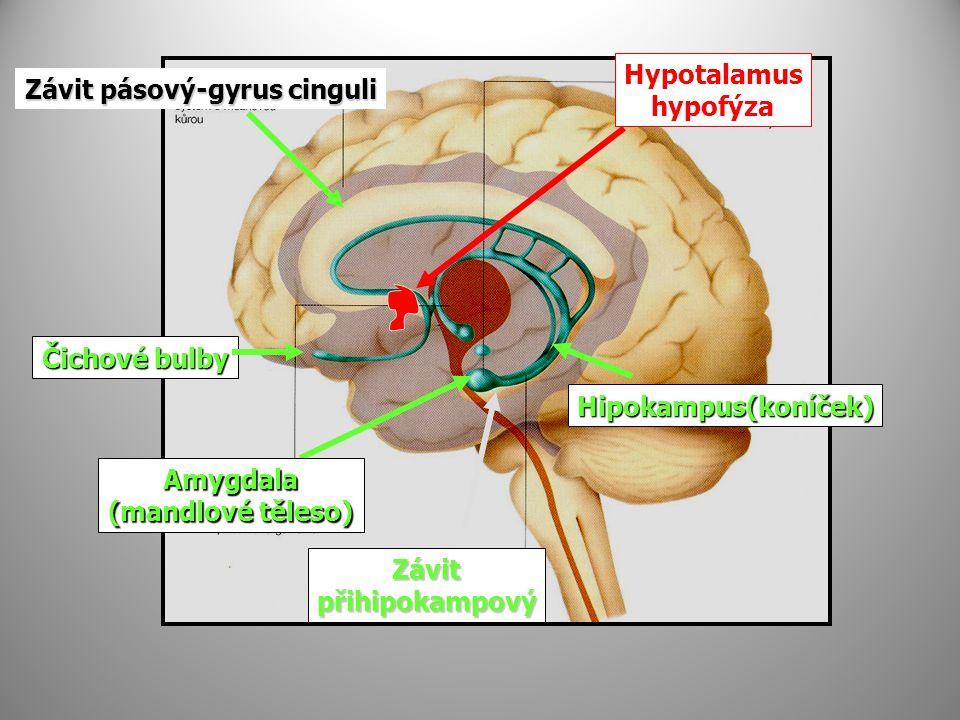 Závit pásový-gyrus cinguli Hypotalamus hypofýza Čichové bulby Hipokampus(koníček) Závitpřihipokampový Amygdala (mandlové těleso)