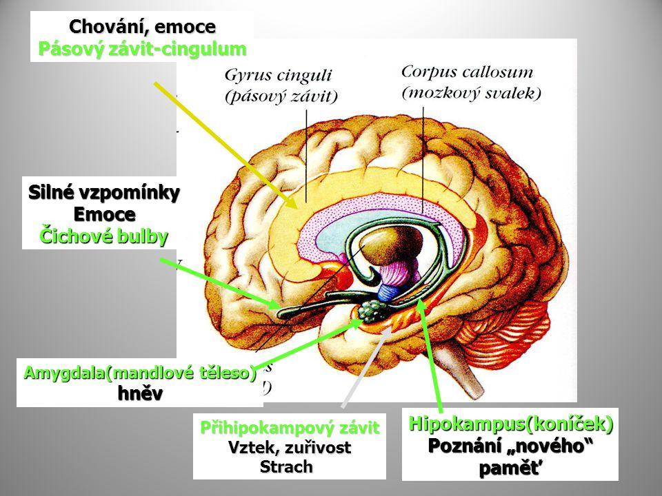 Chování, emoce Pásový závit-cingulum Přihipokampový závit Vztek, zuřivost Strach Amygdala(mandlové těleso) hněv Silné vzpomínky Emoce Čichové bulby Hi
