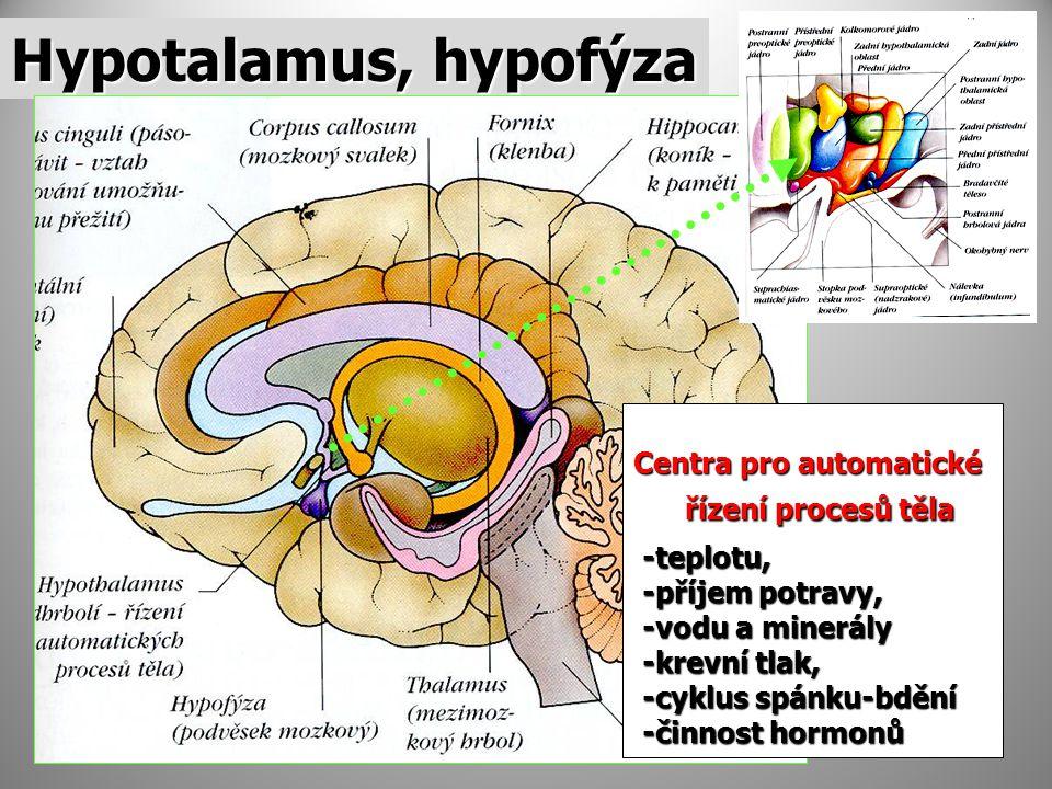 Hypotalamus, hypofýza Centra pro automatické řízení procesů těla řízení procesů těla -teplotu, -teplotu, -příjem potravy, -příjem potravy, -vodu a minerály -vodu a minerály -krevní tlak, -krevní tlak, -cyklus spánku-bdění -cyklus spánku-bdění -činnost hormonů -činnost hormonů