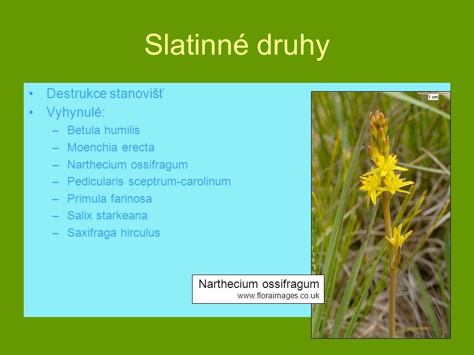 Slatinné druhy Destrukce stanovišť Vyhynulé: –Betula humilis –Moenchia erecta –Narthecium ossifragum –Pedicularis sceptrum-carolinum –Primula farinosa
