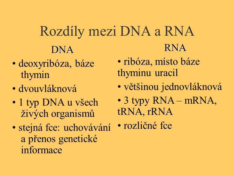 Rozdíly mezi DNA a RNA DNA deoxyribóza, báze thymin dvouvláknová 1 typ DNA u všech živých organismů stejná fce: uchovávání a přenos genetické informac