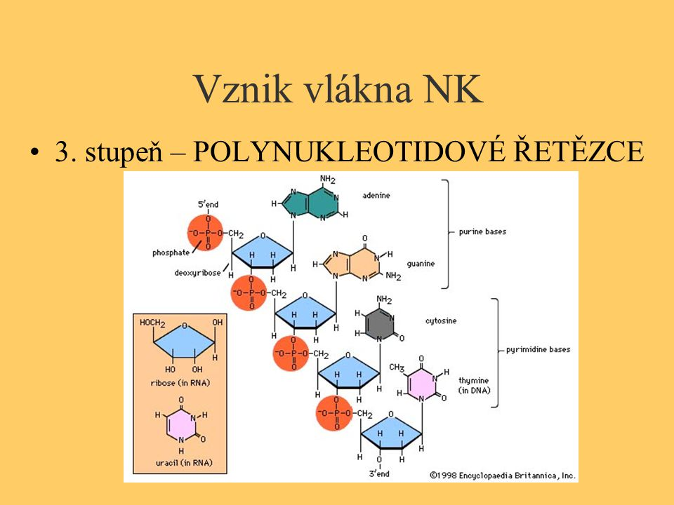 Vznik vlákna NK 3. stupeň – POLYNUKLEOTIDOVÉ ŘETĚZCE