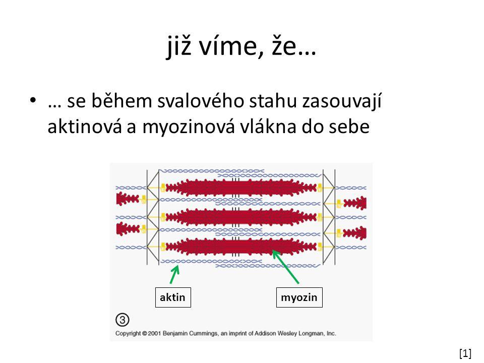 již víme, že… … se během svalového stahu zasouvají aktinová a myozinová vlákna do sebe [1][1] aktinmyozin