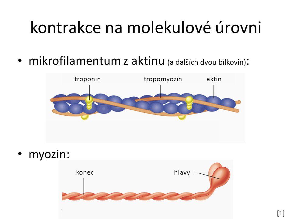 kontrakce na molekulové úrovni mikrofilamentum z aktinu (a dalších dvou bílkovin) : myozin: [1][1] troponin tropomyozin aktin konec hlavy