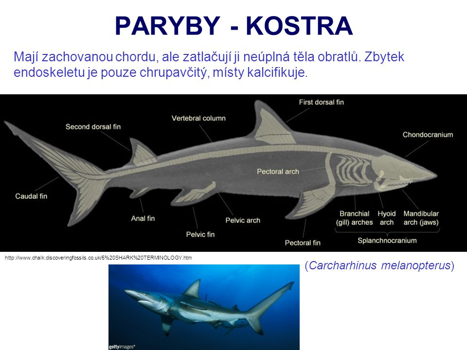 PARYBY - KOSTRA http://www.chalk.discoveringfossils.co.uk/5%20SHARK%20TERMINOLOGY.htm Mají zachovanou chordu, ale zatlačují ji neúplná těla obratlů. Z