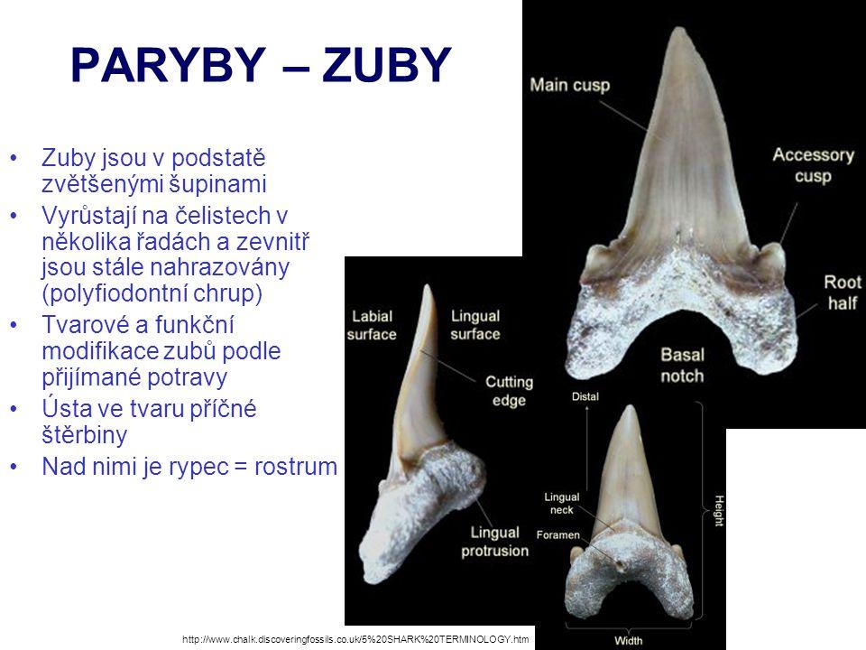 PARYBY – ZUBY Zuby jsou v podstatě zvětšenými šupinami Vyrůstají na čelistech v několika řadách a zevnitř jsou stále nahrazovány (polyfiodontní chrup)