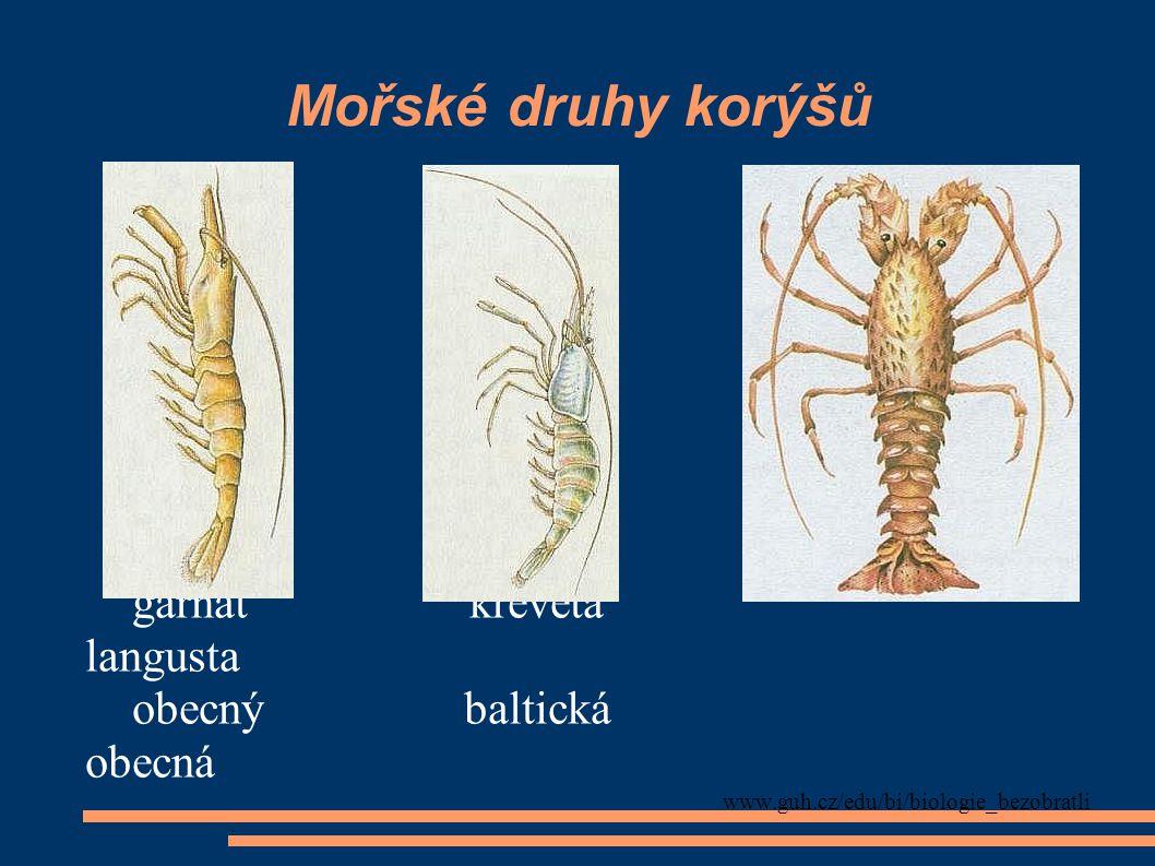 Mořské druhy korýšů humr krab evropský obecný www.guh.cz/edu/bi/biologie_bezobratli