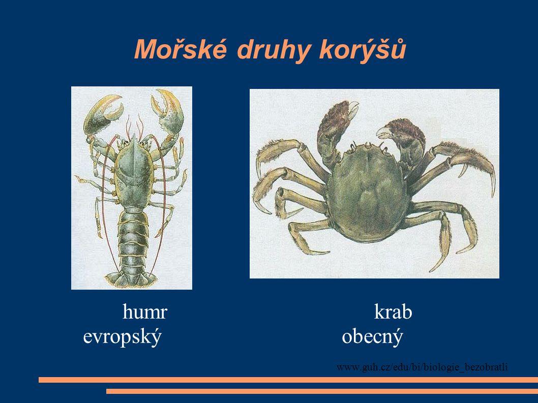 Drobní korýši žijící ve sladkých vodách (součást planktonu) hrotnatka obecná buchanka (perloočka) obecná www.guh.cz/edu/bi/biologie_bezobratli