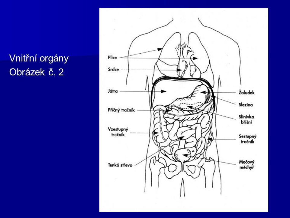 Vnitřní orgány Obrázek č. 2