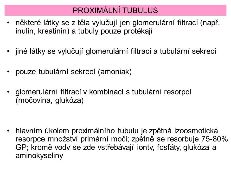 PROXIMÁLNÍ TUBULUS některé látky se z těla vylučují jen glomerulární filtrací (např. inulin, kreatinin) a tubuly pouze protékají jiné látky se vylučuj