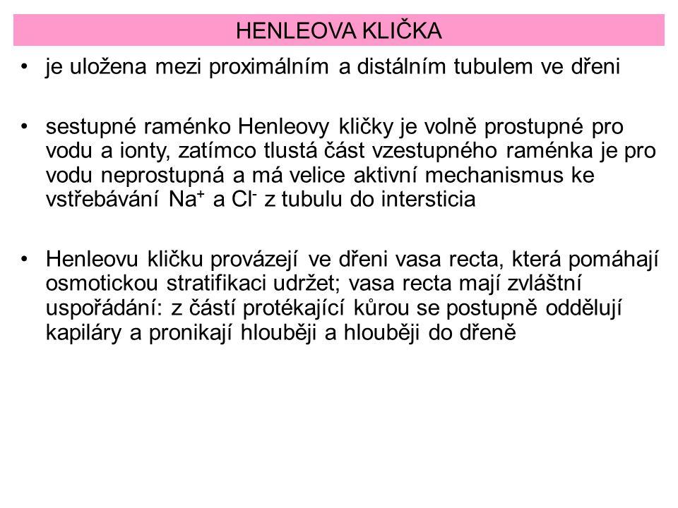 HENLEOVA KLIČKA je uložena mezi proximálním a distálním tubulem ve dřeni sestupné raménko Henleovy kličky je volně prostupné pro vodu a ionty, zatímco