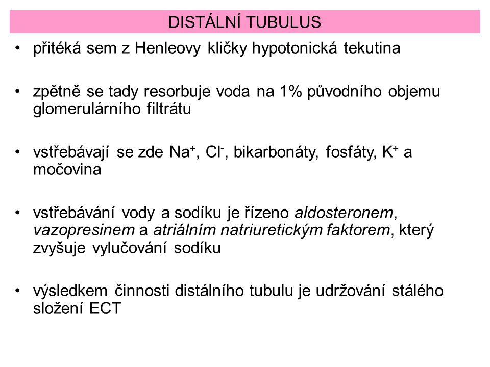 DISTÁLNÍ TUBULUS přitéká sem z Henleovy kličky hypotonická tekutina zpětně se tady resorbuje voda na 1% původního objemu glomerulárního filtrátu vstře