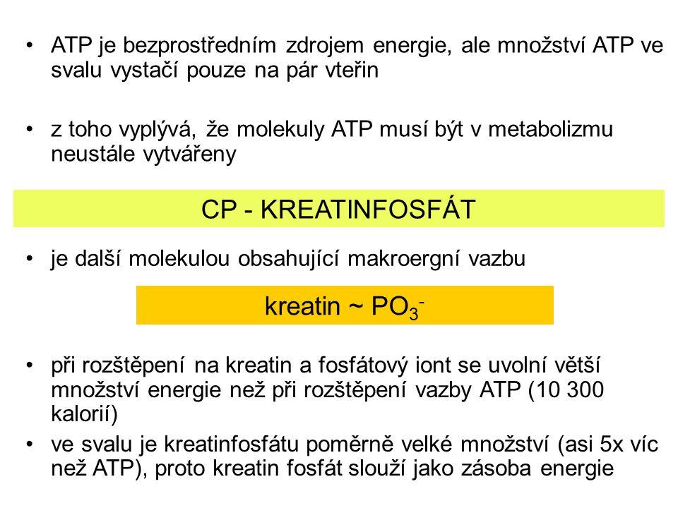 ATP je bezprostředním zdrojem energie, ale množství ATP ve svalu vystačí pouze na pár vteřin z toho vyplývá, že molekuly ATP musí být v metabolizmu ne