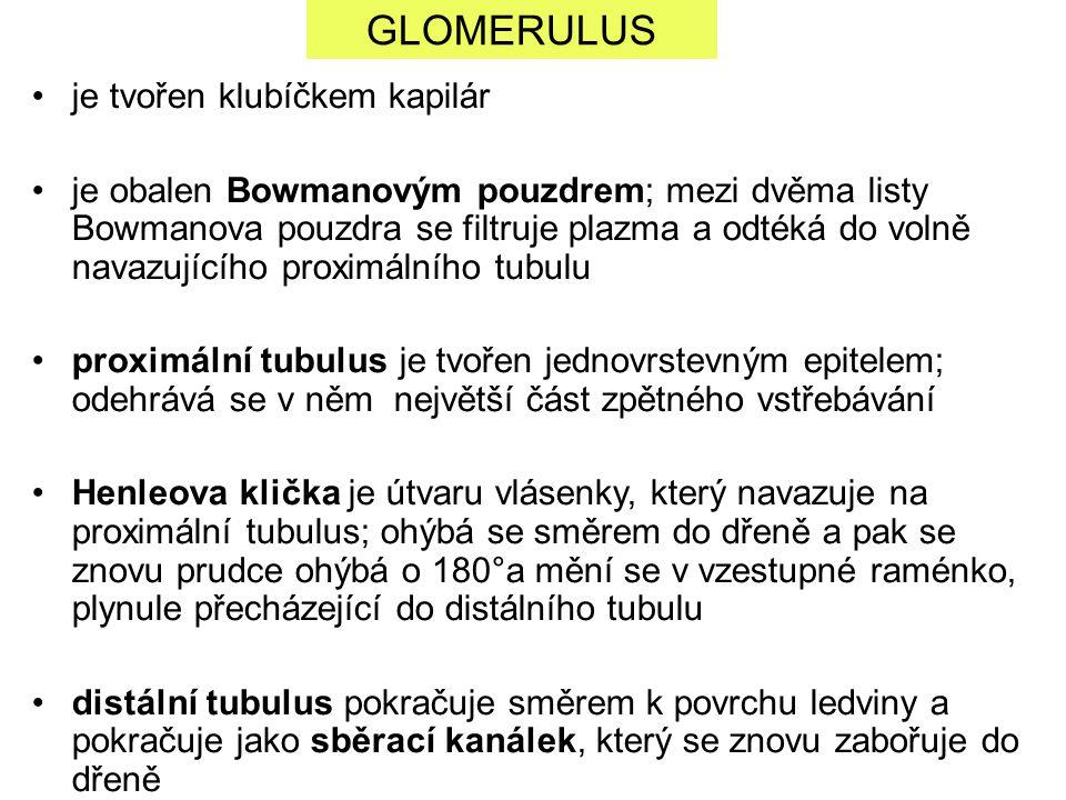 GLOMERULUS je tvořen klubíčkem kapilár je obalen Bowmanovým pouzdrem; mezi dvěma listy Bowmanova pouzdra se filtruje plazma a odtéká do volně navazují