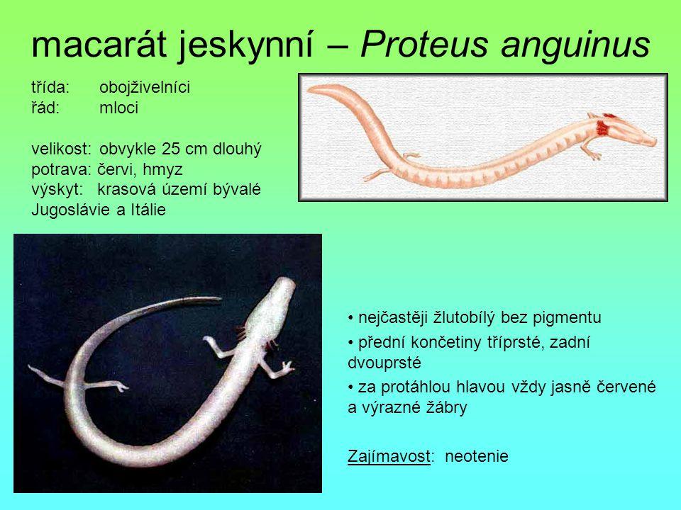 macarát jeskynní – Proteus anguinus nejčastěji žlutobílý bez pigmentu přední končetiny tříprsté, zadní dvouprsté za protáhlou hlavou vždy jasně červen