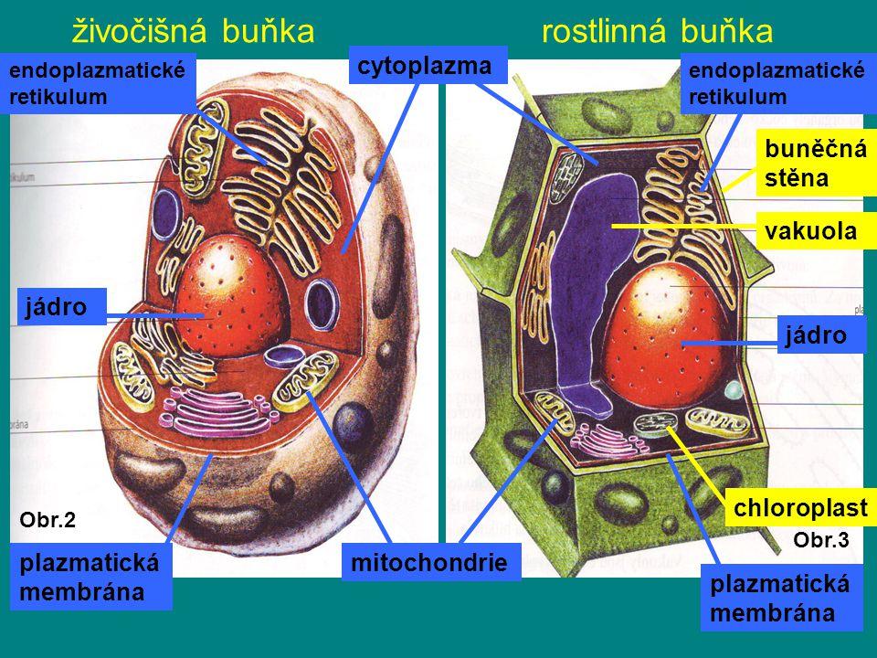 živočišná buňka rostlinná buňka jádro plazmatická membrána mitochondrie endoplazmatické retikulum cytoplazma buněčná stěna vakuola chloroplast Obr.2 O