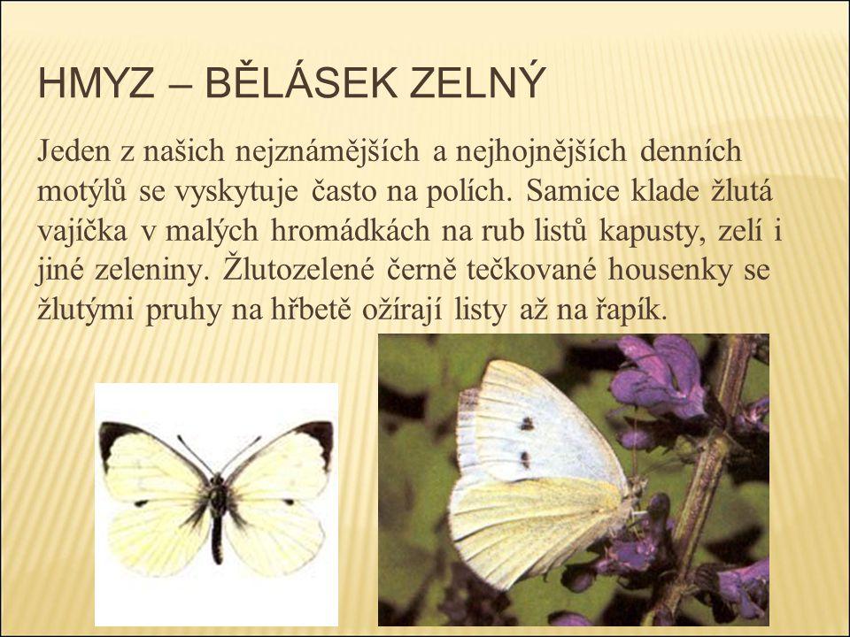 HMYZ – BĚLÁSEK ZELNÝ Jeden z našich nejznámějších a nejhojnějších denních motýlů se vyskytuje často na polích. Samice klade žlutá vajíčka v malých hro