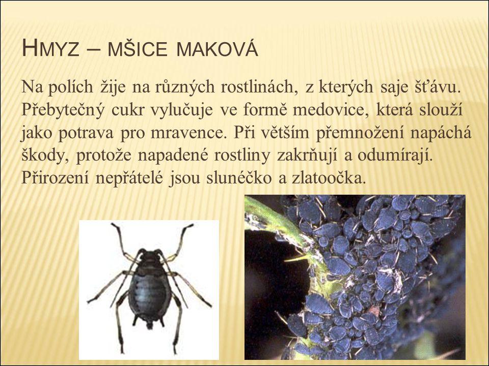 H MYZ – MŠICE MAKOVÁ Na polích žije na různých rostlinách, z kterých saje šťávu. Přebytečný cukr vylučuje ve formě medovice, která slouží jako potrava