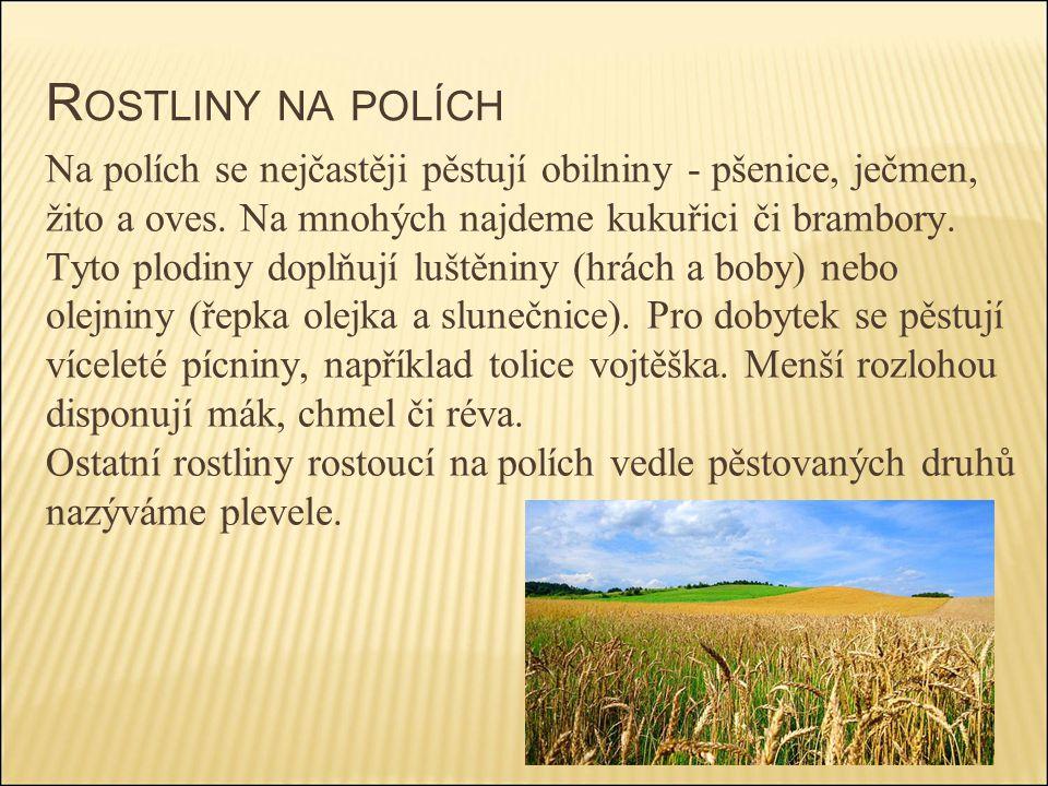 R OSTLINY NA POLÍCH Na polích se nejčastěji pěstují obilniny - pšenice, ječmen, žito a oves. Na mnohých najdeme kukuřici či brambory. Tyto plodiny dop