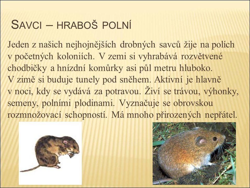 S AVCI – HRABOŠ POLNÍ Jeden z našich nejhojnějších drobných savců žije na polích v početných koloniích. V zemi si vyhrabává rozvětvené chodbičky a hní