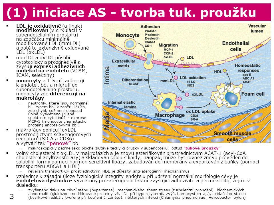 3 (1) iniciace AS - tvorba tuk. proužku  LDL je oxidativně (a jinak) modifikován (v cirkulaci i v subendoteliálním prostoru) na zpočátku minimálně mo