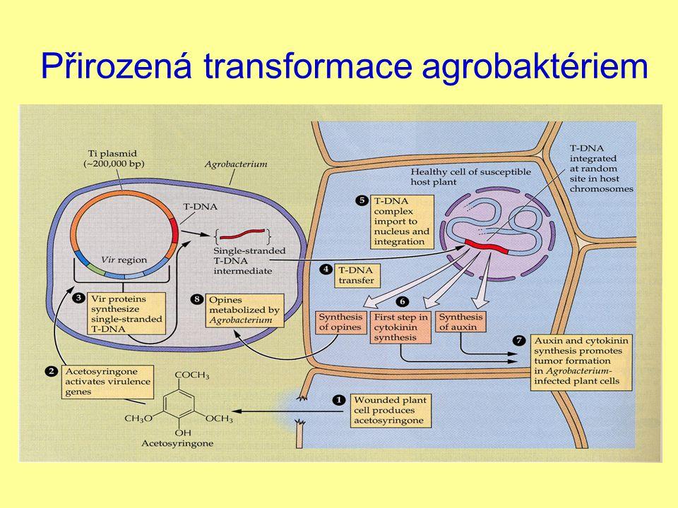 Přirozená transformace agrobaktériem