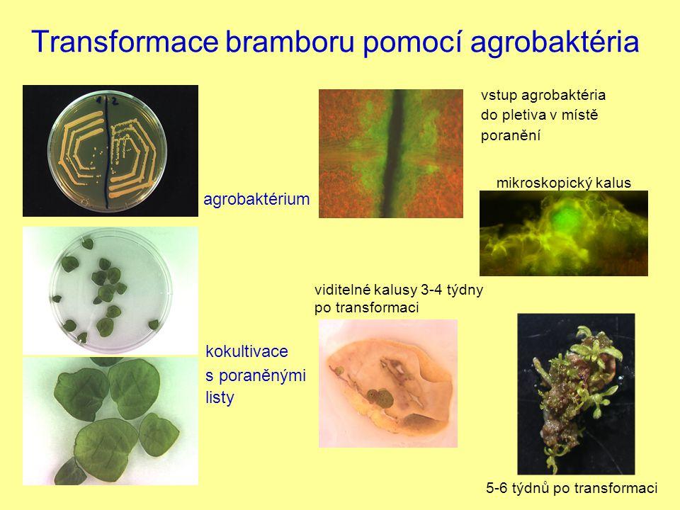 Transformace bramboru pomocí agrobaktéria kokultivace s poraněnými listy agrobaktérium vstup agrobaktéria do pletiva v místě poranění viditelné kalusy