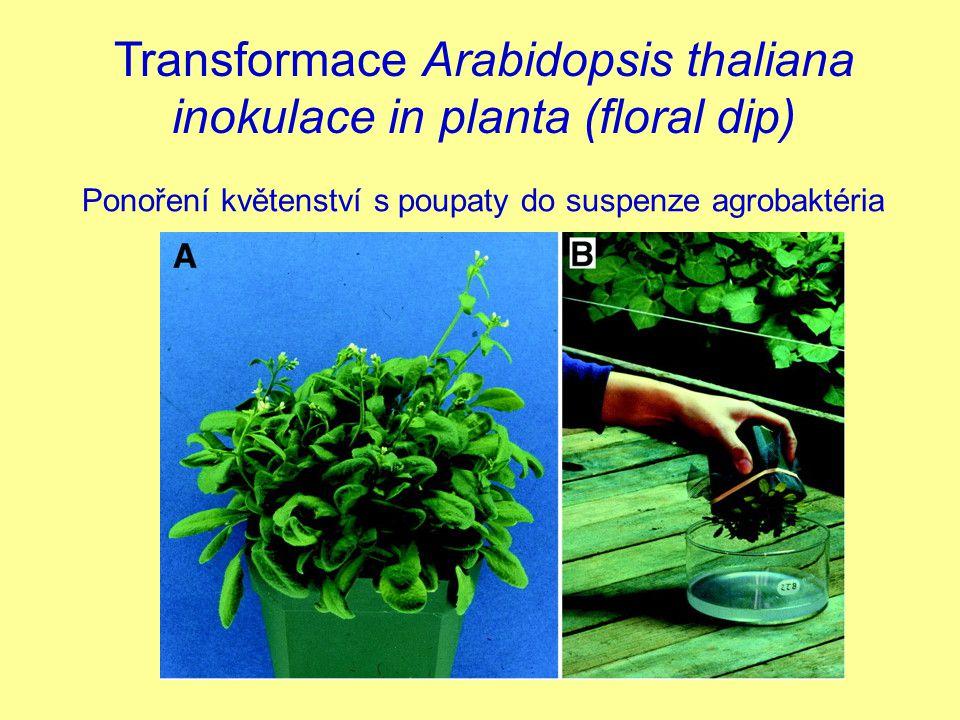 Transformace Arabidopsis thaliana inokulace in planta (floral dip) Ponoření květenství s poupaty do suspenze agrobaktéria
