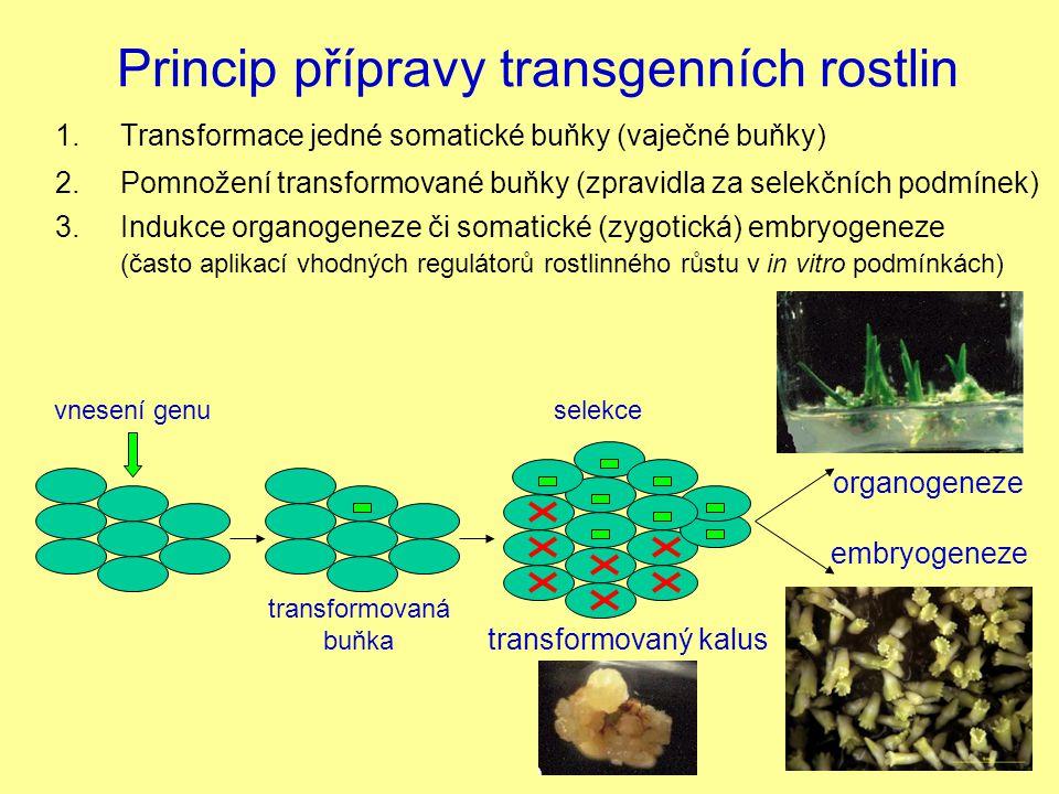selekce Princip přípravy transgenních rostlin 1. Transformace jedné somatické buňky (vaječné buňky) transformovaná buňka organogeneze embryogeneze 3.