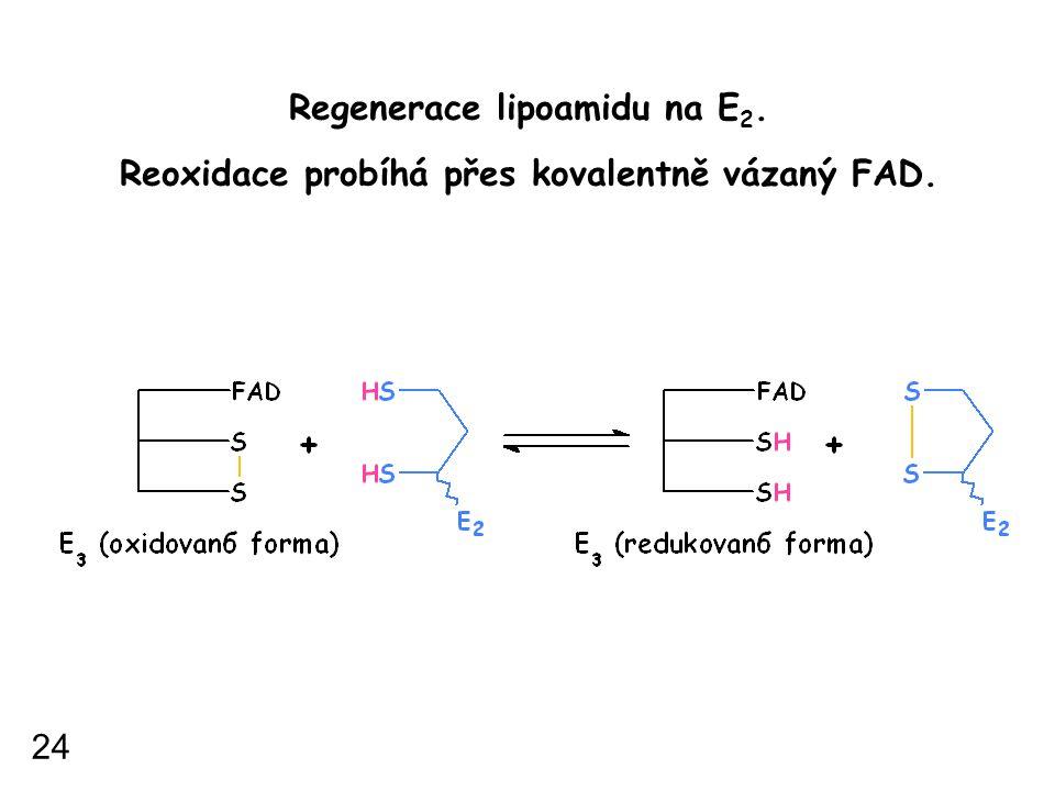 Regenerace lipoamidu na E 2. Reoxidace probíhá přes kovalentně vázaný FAD. 24