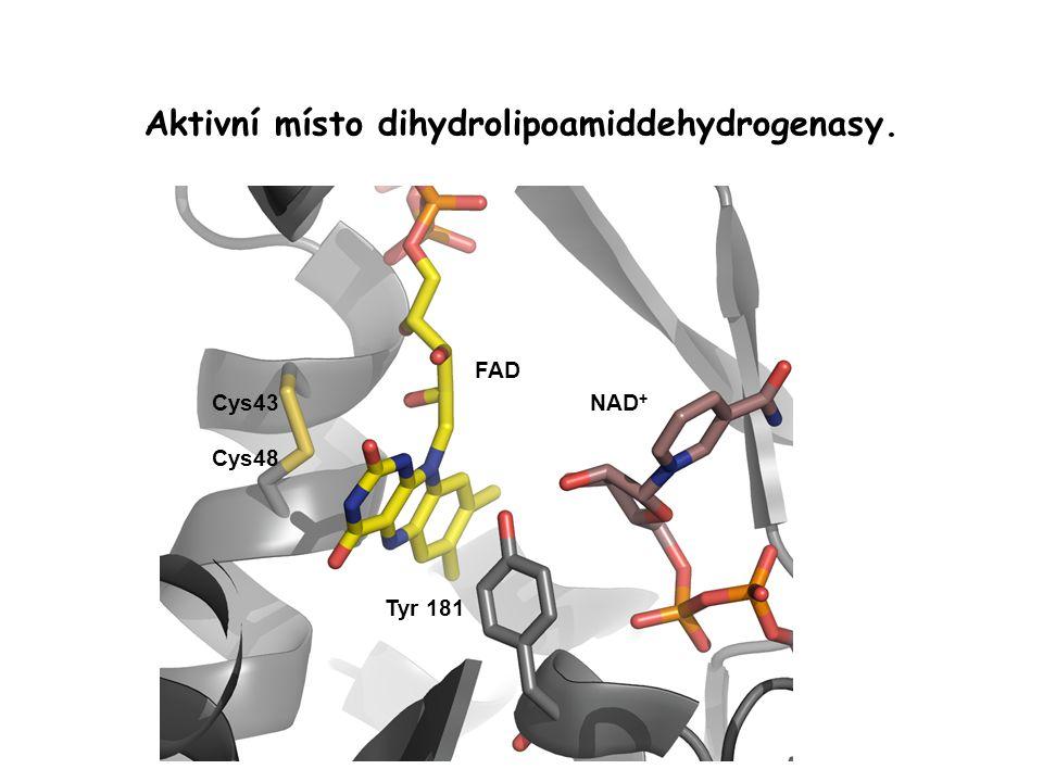 Aktivní místo dihydrolipoamiddehydrogenasy. Cys43 Cys48 FAD NAD + Tyr 181