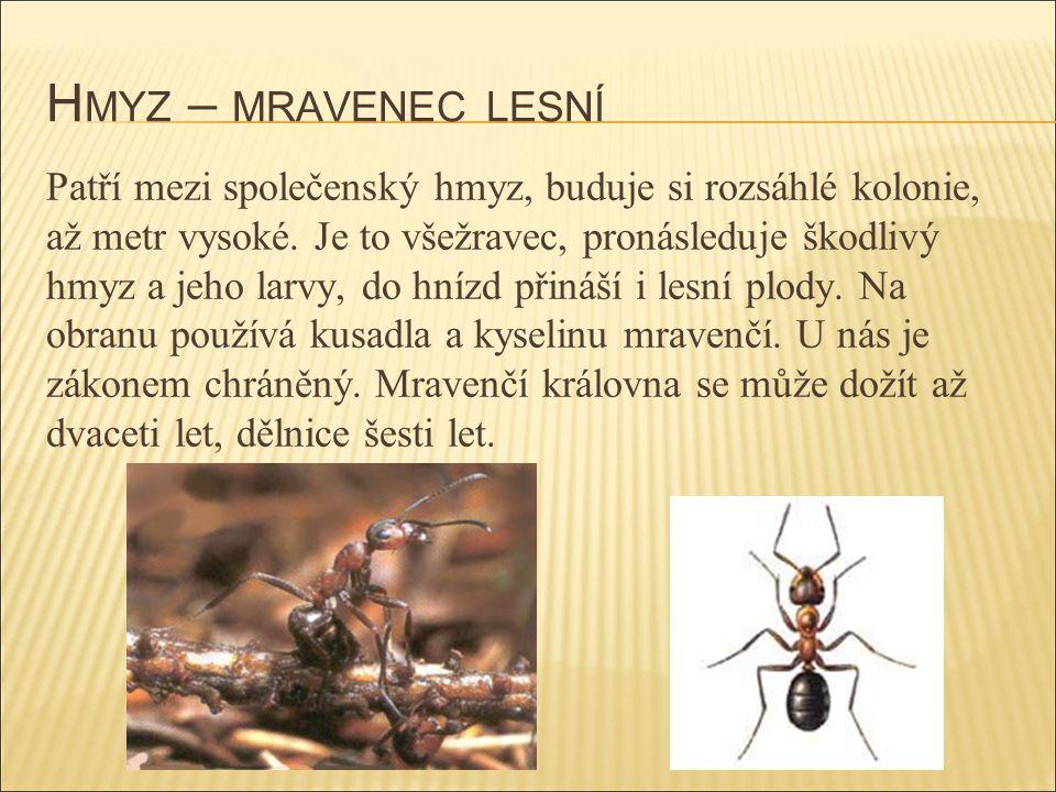 H MYZ – MRAVENEC LESNÍ Patří mezi společenský hmyz, buduje si rozsáhlé kolonie, až metr vysoké. Je to všežravec, pronásleduje škodlivý hmyz a jeho lar