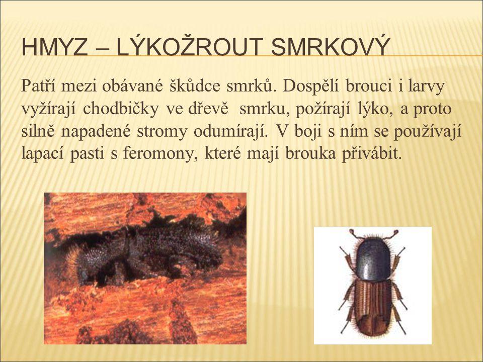HMYZ – LÝKOŽROUT SMRKOVÝ Patří mezi obávané škůdce smrků. Dospělí brouci i larvy vyžírají chodbičky ve dřevě smrku, požírají lýko, a proto silně napad