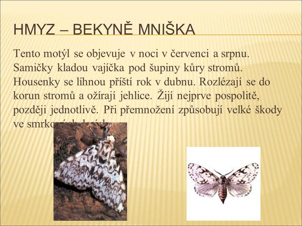 HMYZ – BEKYNĚ MNIŠKA Tento motýl se objevuje v noci v červenci a srpnu. Samičky kladou vajíčka pod šupiny kůry stromů. Housenky se líhnou příští rok v
