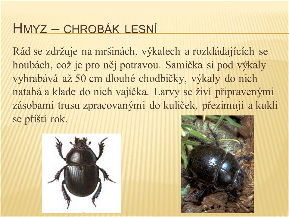 H MYZ – CHROBÁK LESNÍ Rád se zdržuje na mršinách, výkalech a rozkládajících se houbách, což je pro něj potravou. Samička si pod výkaly vyhrabává až 50